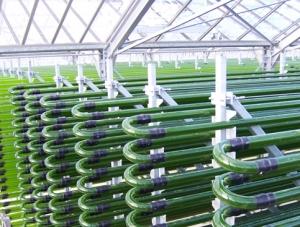 organic-chlorella-green-house.jpg